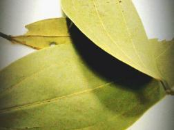Picture of: Bay Leaf (Tej patta)- Secret indian Recipe
